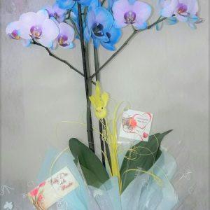 Orquedia-Phalaenopsis- FLORISTERIA MACHERI JEREZ